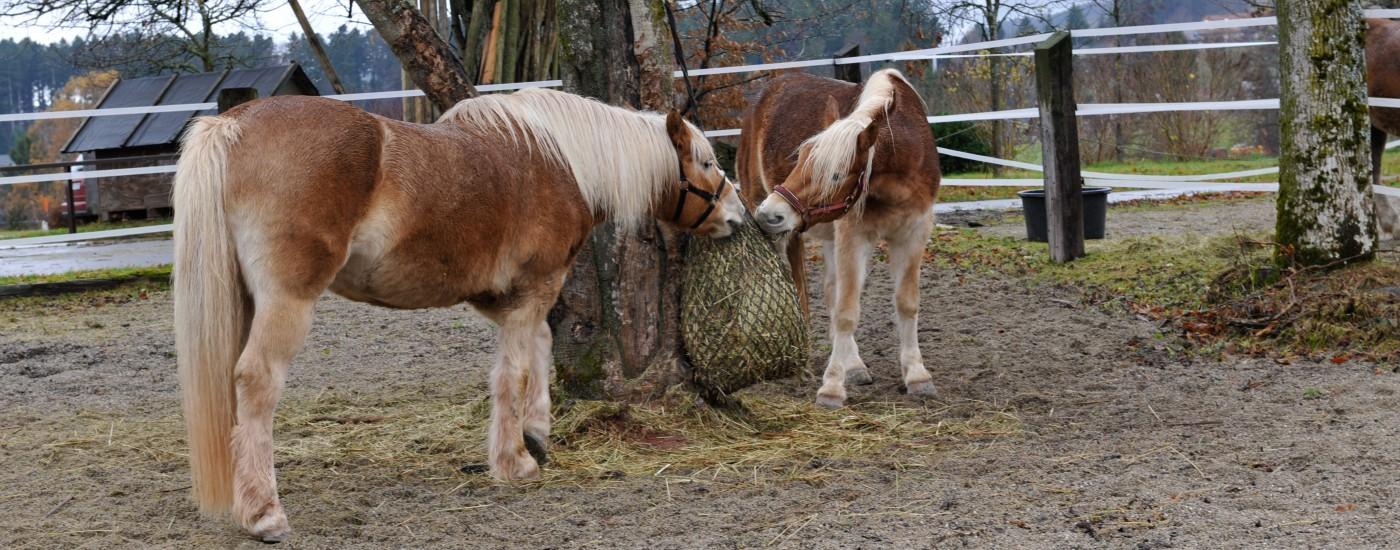 Heu ist für Pferde neben Weidegras das wichtigste Nahrungsmittel